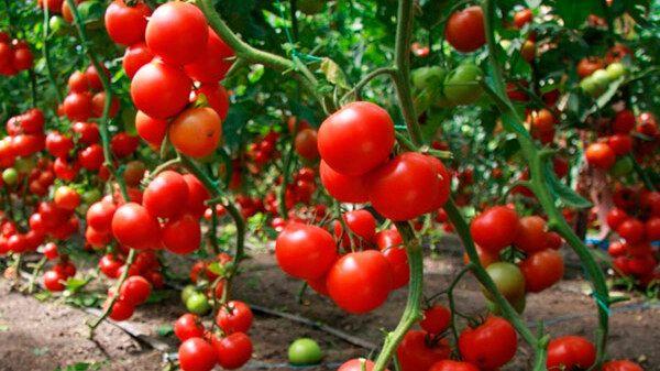 Минимущество Крыма предоставит в аренду земельный участок для ведения овощеводства