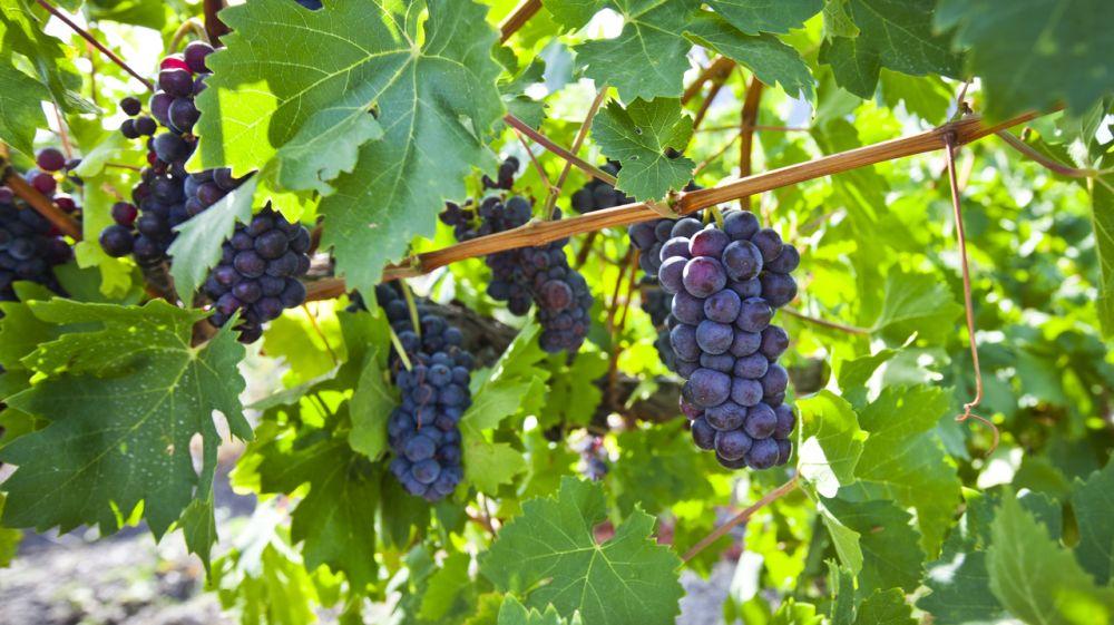 Крымские аграрии повторили рекорд прошлого года по сбору урожая винограда: собрано более 99 тысяч тонн