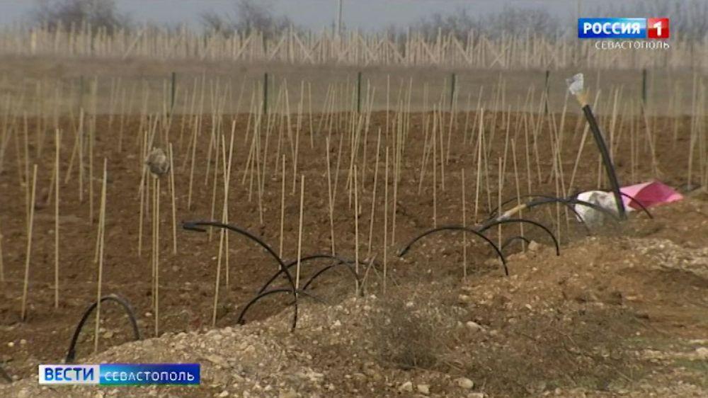 СевГУ создает первый в России виноградник с цифровыми технологиями