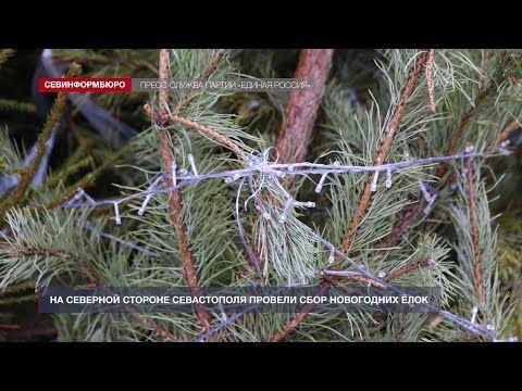 На Северной стороне Севастополя провели сбор новогодних ёлок