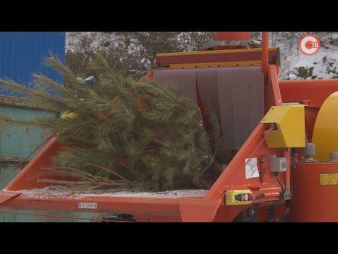 В Севастополе перерабатывают выброшенные елки (СЮЖЕТ)