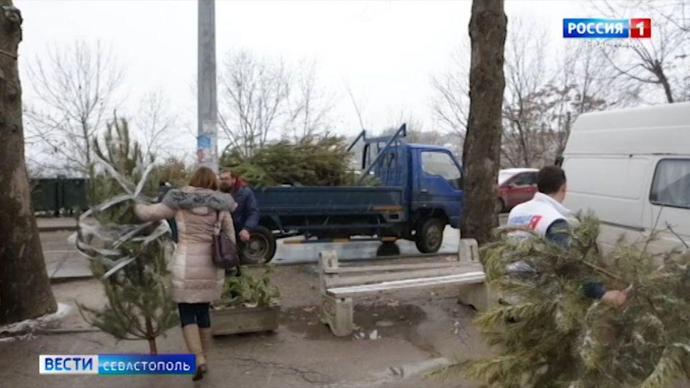 В Севастополе утилизация новогодних ёлок продлится до конца января