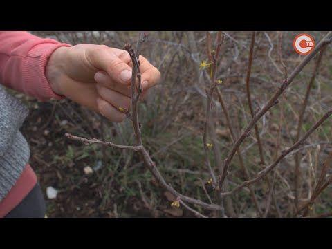 Январские морозы повредили плодовые кустарники (СЮЖЕТ)