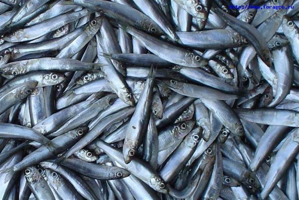 В Крыму будут производить рыбную муку