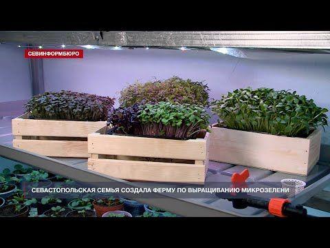 «Mimi Greens»: севастопольская семья создала ферму по выращиванию микрозелени