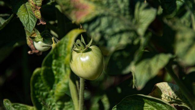 За первый месяц 2021 года в Крыму собрали 300 тонн томатов