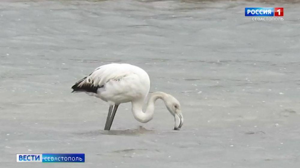 Какие редкие птицы зимуют в Севастополе в этом году рассказал известный учёный