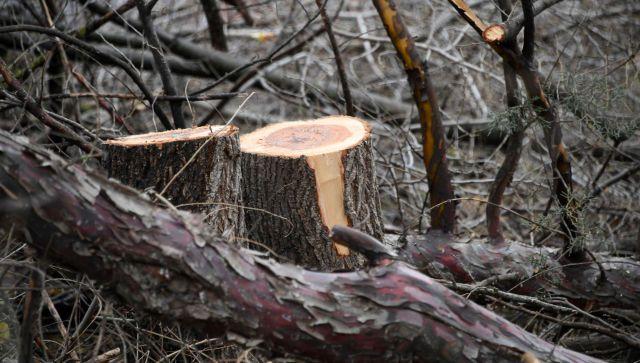 Крымчанину грозит до семи лет за вырубку дуба и граба на ЮБК
