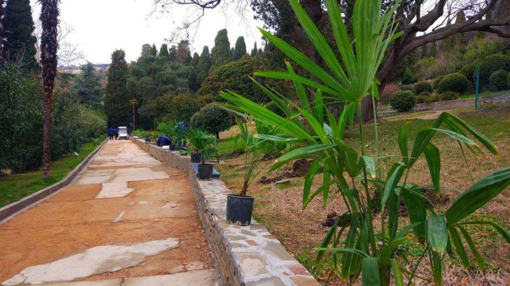 Продолжается восстановление пальмовои? аллеи парка-памятника «Алупкинскии?»