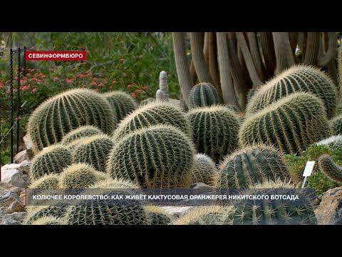 Колючее королевство: как живёт Кактусовая оранжерея Никитского ботанического сада