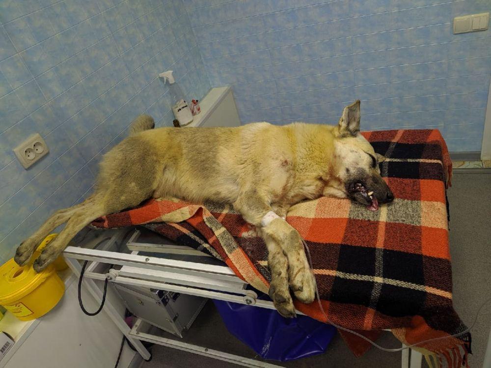 В Симферополе мужчина натравил на дворнягу своего бойцовского пса, после чего сам стал добивать животное обломанной доской