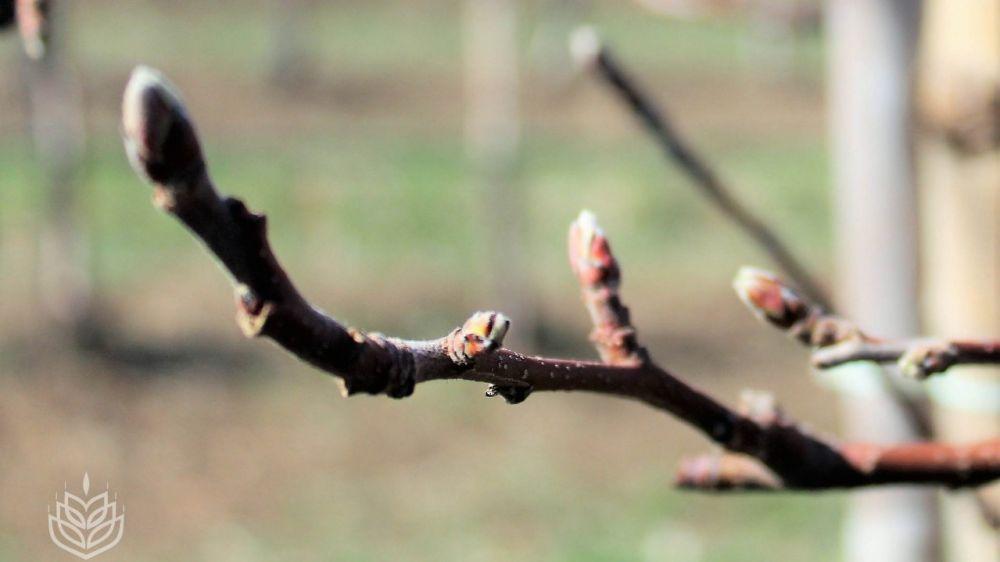 Сельхозпредприятия республики произвели обрезку порядка 70% площади плодовых деревьев - Андрей Рюмшин