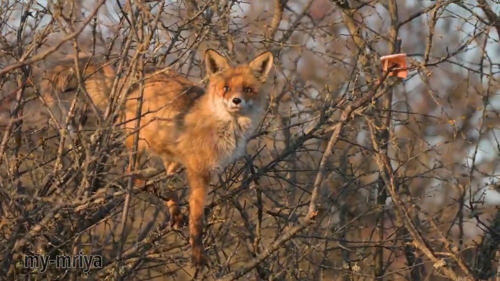 Она вернулась! Крымская лиса ворует сало на дереве №2