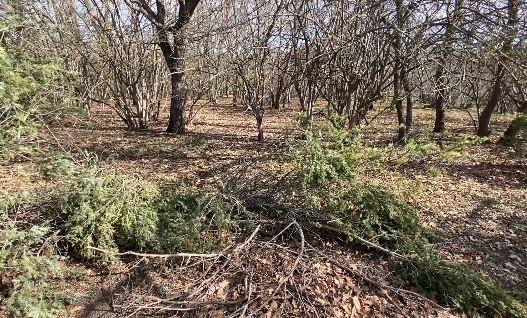 В Бахчисарайском районе незаконно вырубили 40 деревьев реликтового можжевельника