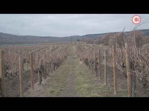 Из-за прошлогодней засухи урожай винограда в 2021 будет меньше (СЮЖЕТ)