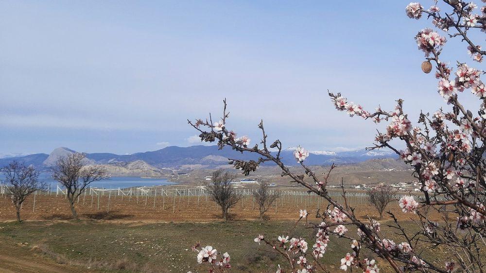 В Крыму уже цветет миндаль