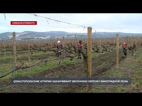 Севастопольские аграрии заканчивают весеннюю обрезку виноградной лозы