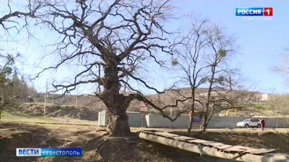 Пять старейших деревьев в Севастополе получили статус памятников природы