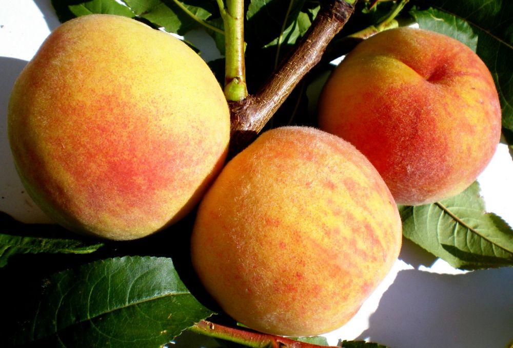 В Никитском ботсаду вывели новые сорта персиков и абрикос, превосходящие западные