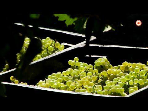 В Севастополе появится новый винный товарный знак (СЮЖЕТ)