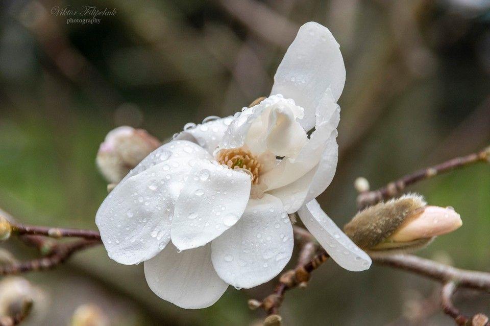 В Крыму цветет уникальная магнолия Лебнера