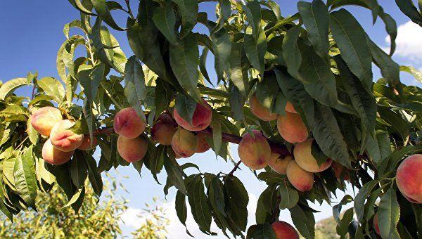 Крымских персиков будет вдоволь: ученые об урожае в этом году