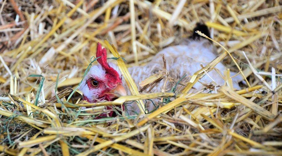 Оптовые цены на куриное мясо начали падать в России