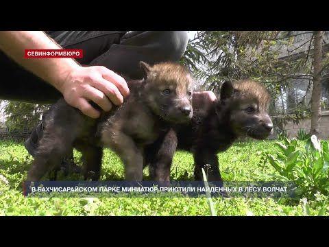 В Бахчисарайском парке миниатюр приютили найденных в лесу волчат