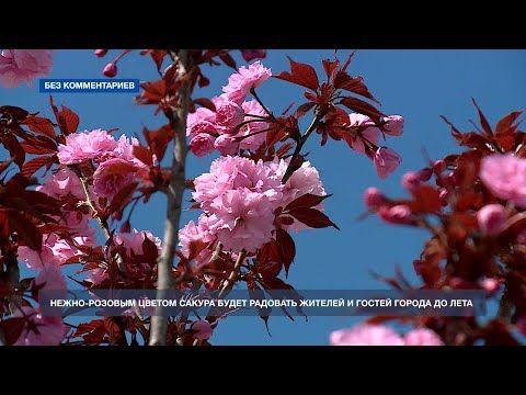 На Матросском бульваре зацвели деревья сакуры