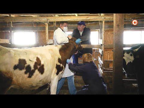 Крупный рогатый скот в Севастополе готовят к вакцинации от сибирской язвы (СЮЖЕТ)