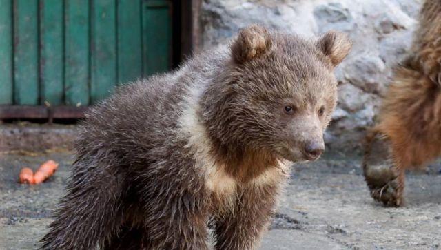Медвежонок Глаша: первый выход в свет - умилительное видео