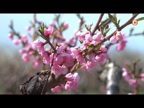 В Севастополе ждут большой урожай персиков (СЮЖЕТ)