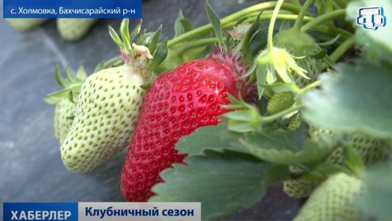 В Крыму стартовал сезон клубники