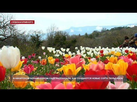 В Никитском саду рассказали, как создаются новые сорта для Парада тюльпанов
