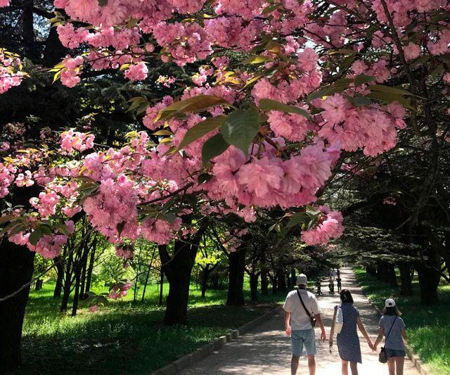 В Ботаническом саду КФУ зацвела сакура