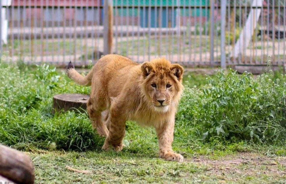 В зоопарк Симферополя привезли двух львят