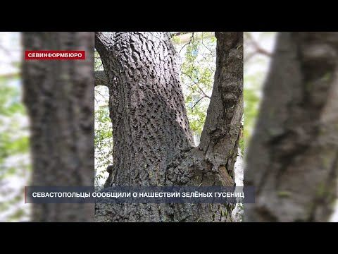 Севастопольцы сообщили о нашествии зелёных гусениц