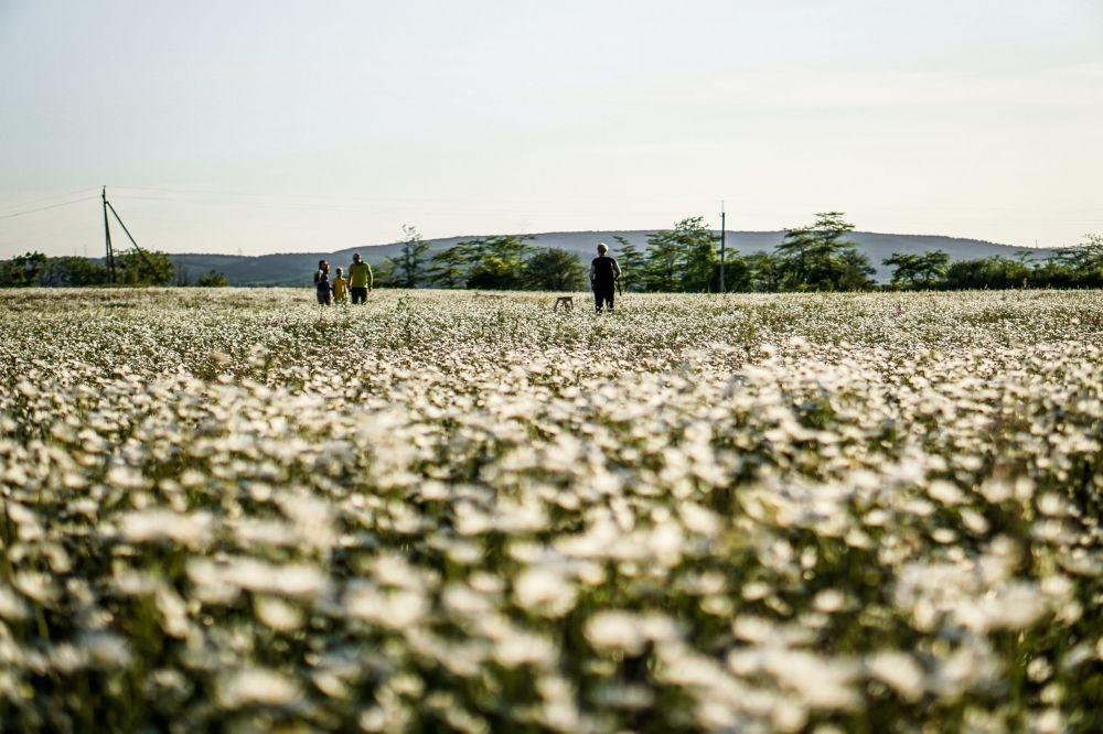Ромашковые поля в Крыму: когда цветут и куда ехать фотографироваться