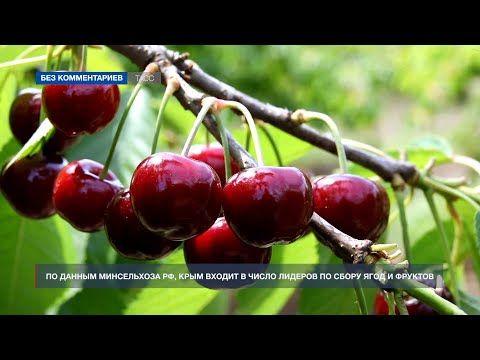 В Крыму начался сбор черешни