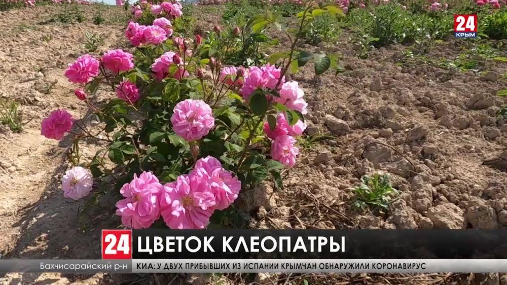 В Крыму стартовала уборка эфиромасличной розы
