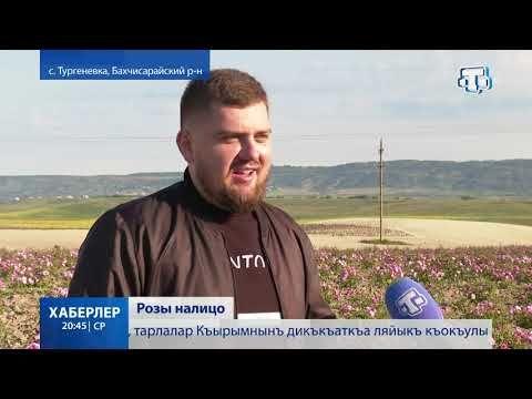 В Крыму стартовал сбор лепестков роз