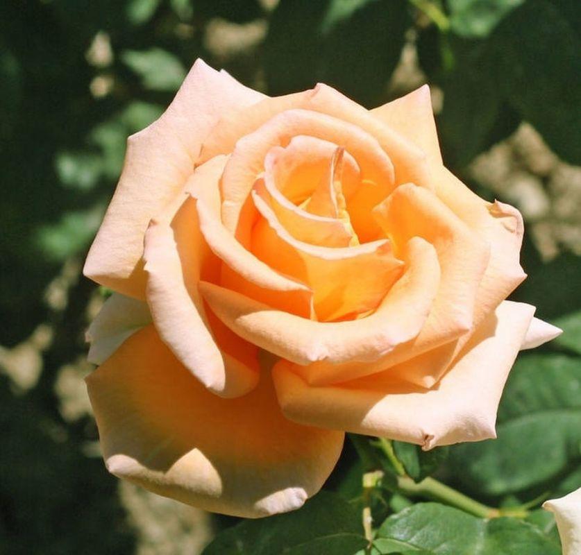 На Южном берегу Крыма в разгаре Вальс роз: 7 июньских фото праздника цветов