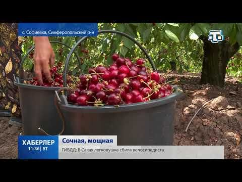 В Крыму продолжается сбор черешни