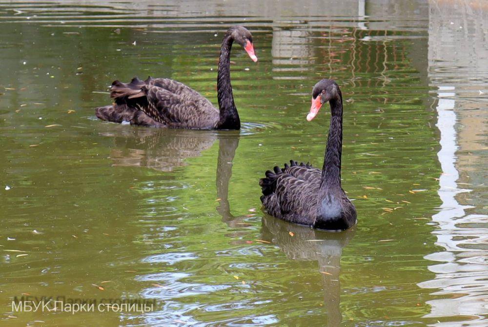 Симферопольцев попросили придумать имена для пары черных лебедей в зооуголке