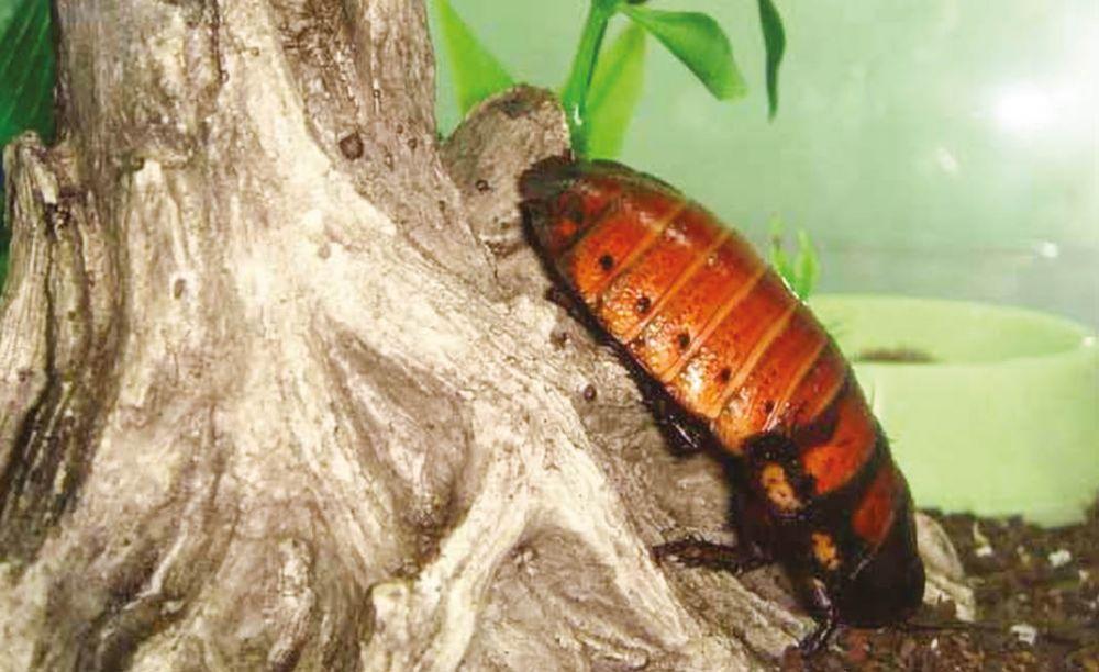 Необычные питомцы: мадагаскарские тараканы