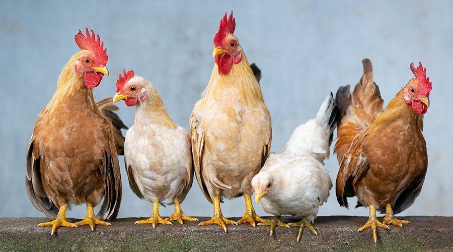 Китай выкупил в Крыму все куриные лапки и головы