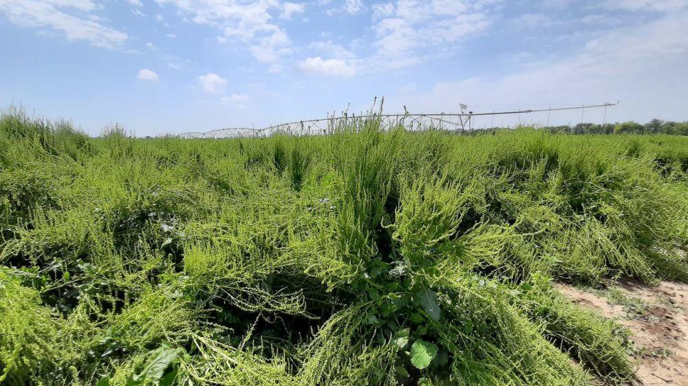 В Республике Крым в этом году будет посеяно 460 гектаров семенников сахарной свеклы - Андрей Рюмшин