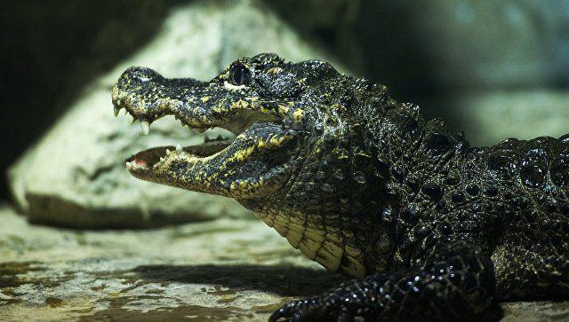 35 крокодилов и 40 черепах пережили потоп в Ялте и эвакуацию в Алушту