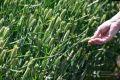 Аграрии Крыма получили почти миллиард рублей господдержки за полгода