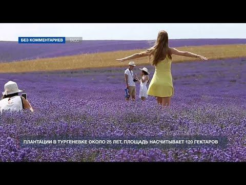 В селе Тургеневка цветут лавандовые поля